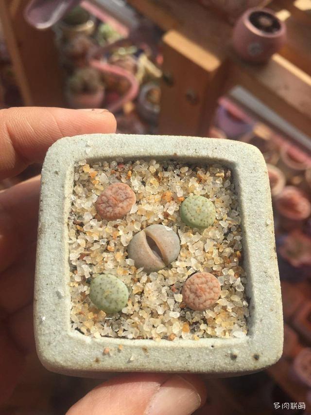 淘宝、直播买的一些贵的生石花