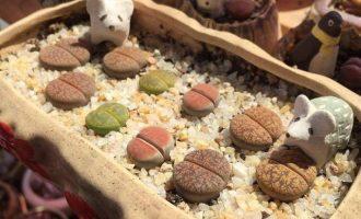 生石花,灵动的小石头