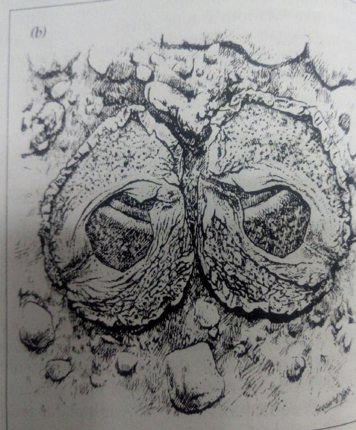 生石花面部性状特点