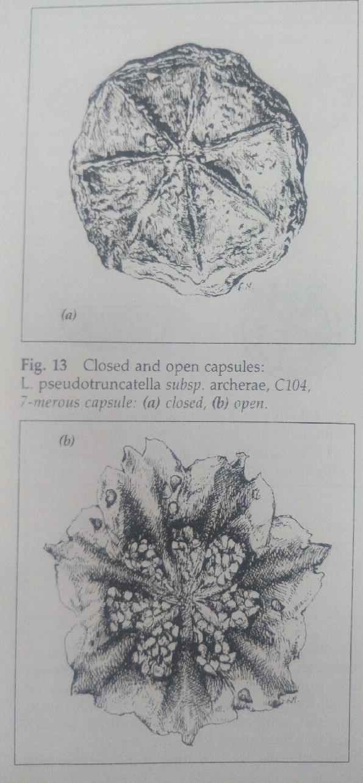 生石花的种荚特点
