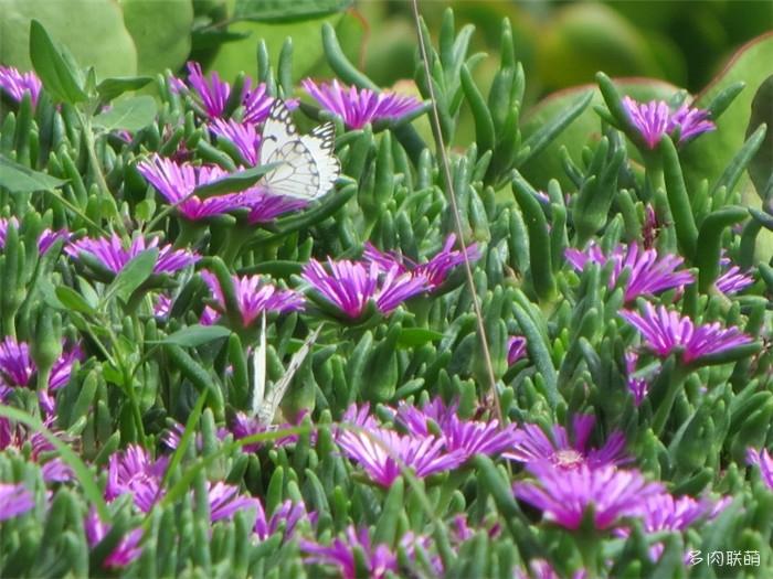 授粉的蝴蝶