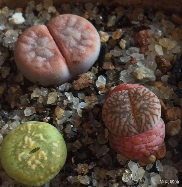 一些好看的生石花