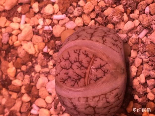 生石花C261
