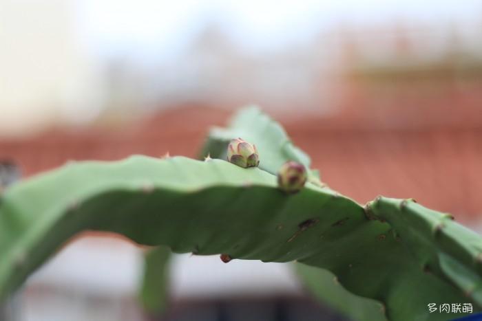 火龙果花苞