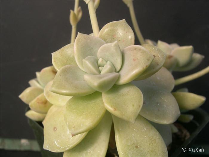 G. paraguayense ssp. bernalense