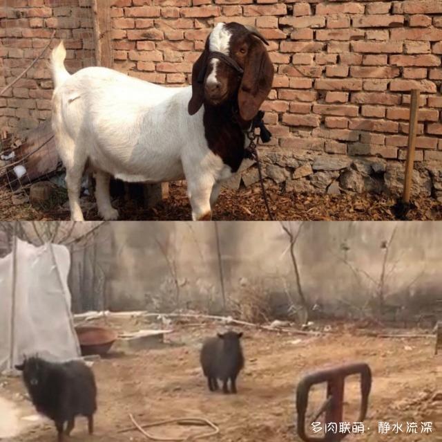 山羊、狗、多肉