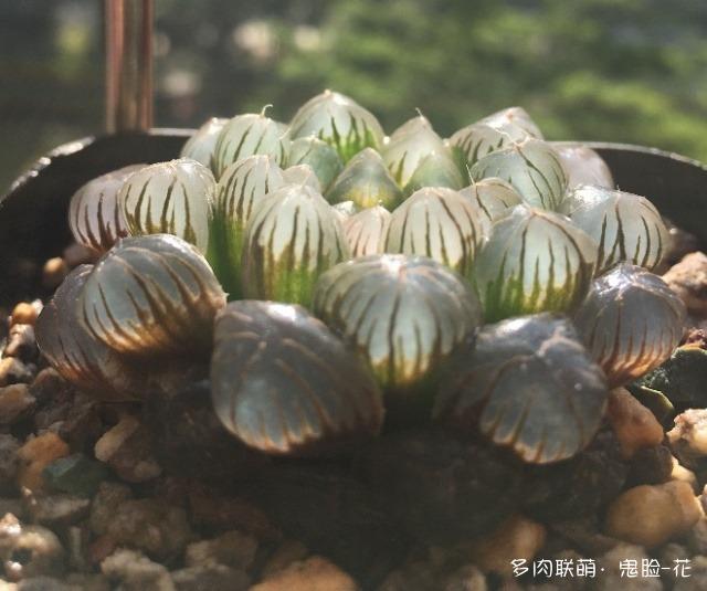广东惠州养护一年的多肉