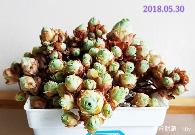重庆冬天,变化的多肉
