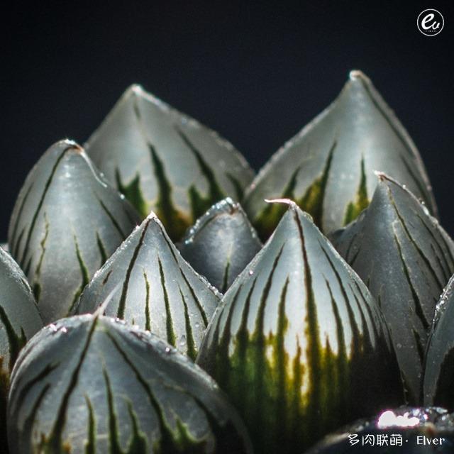 晶莹剔透的瓦苇系
