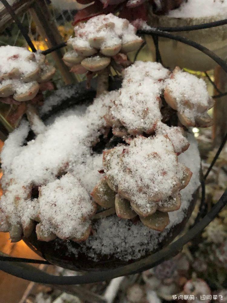 冬天成都露台上的多肉