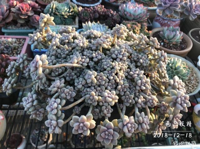 广东潮汕,冬天天台上的多肉