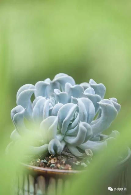 草丛里的特玉莲