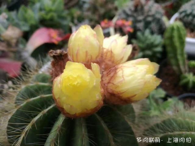 上海龙大花卉里的多肉