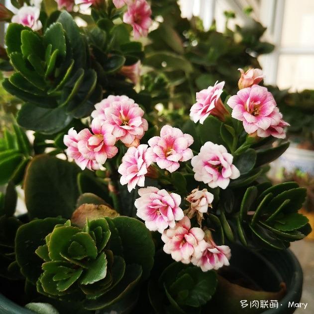 河南郑州,又一年春天多肉开花了