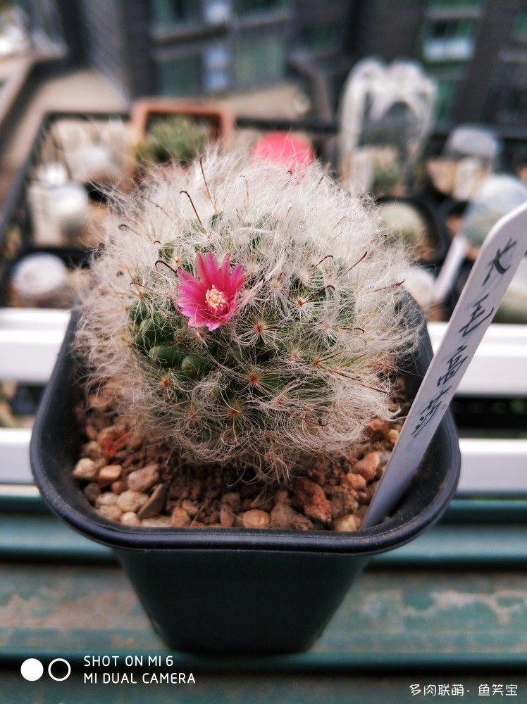 长毛高莎的花