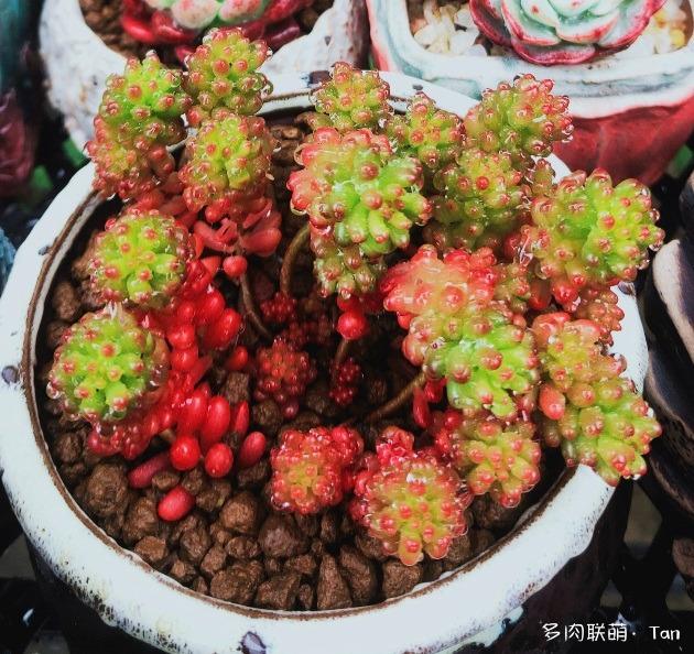 浙江湖州下雨中的多肉