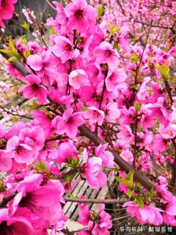 山东,春天的花儿