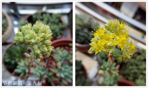 四月里多肉的花