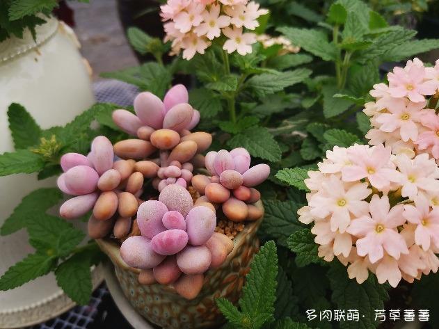 深圳,春天的多肉