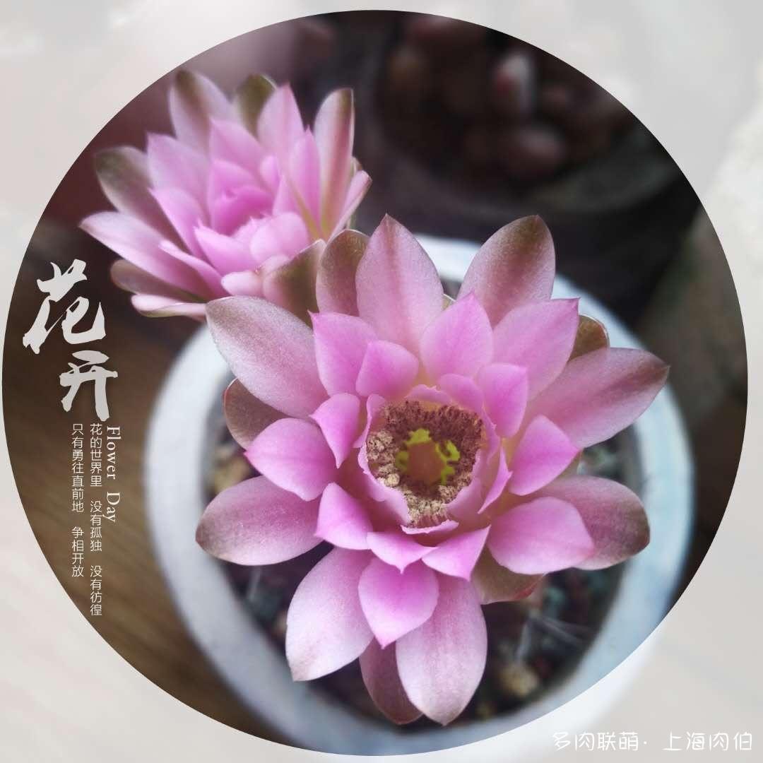 仙人球开的花