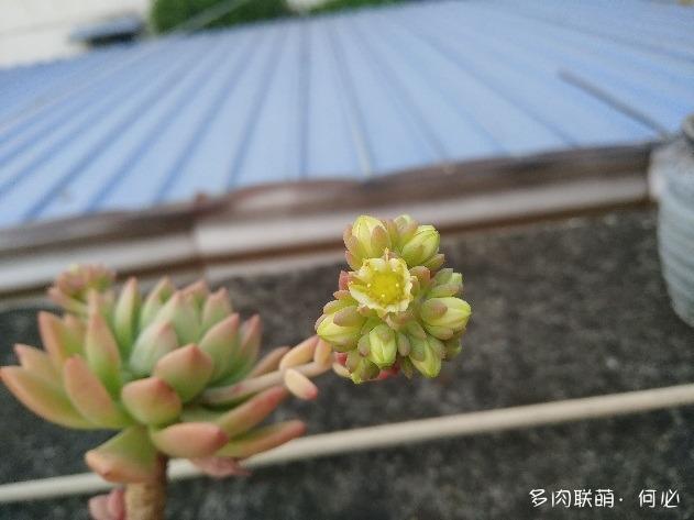 多肉植物的花