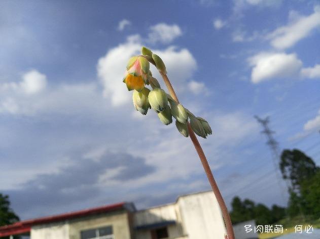 千代田之松的花