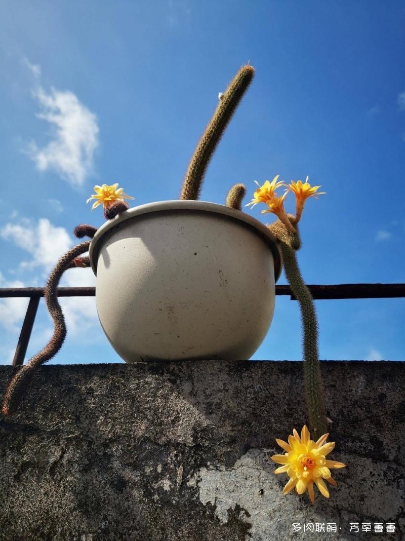开花的仙人球