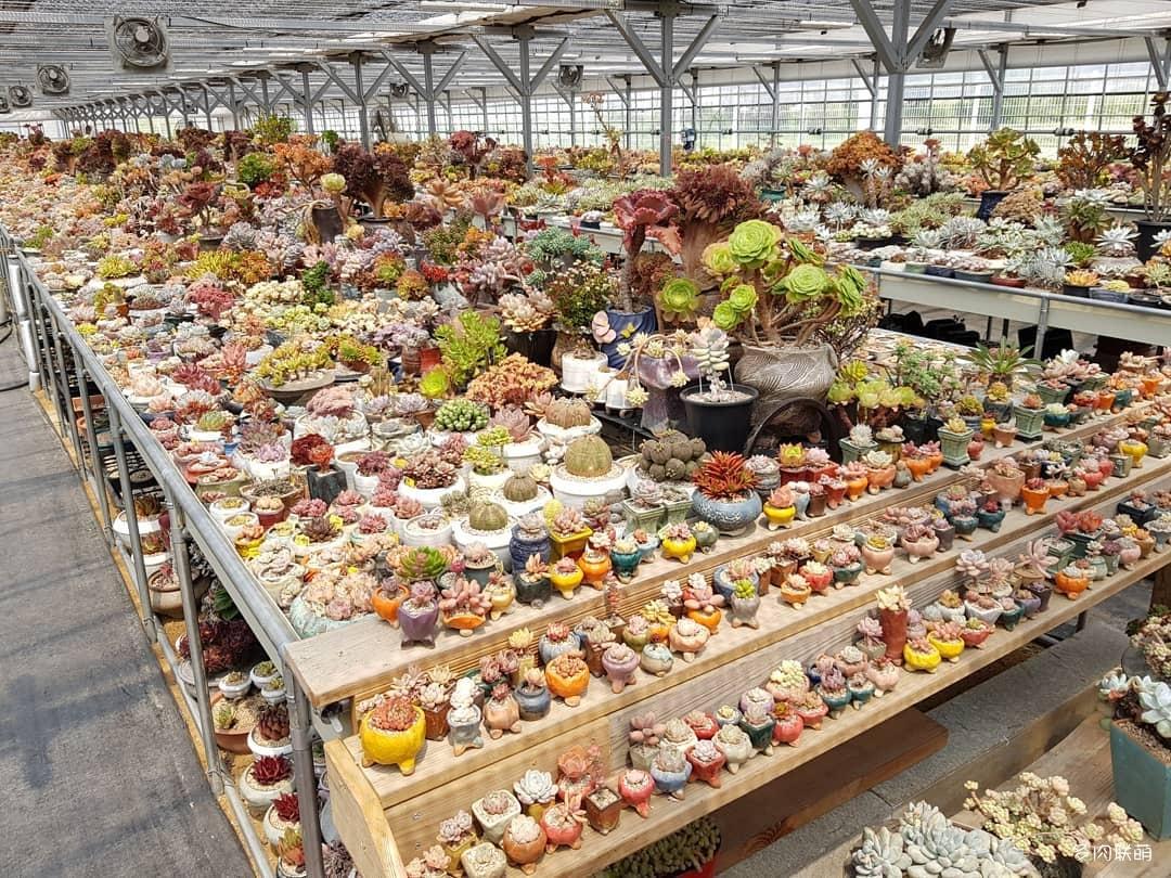 韩国清州市的多肉大棚