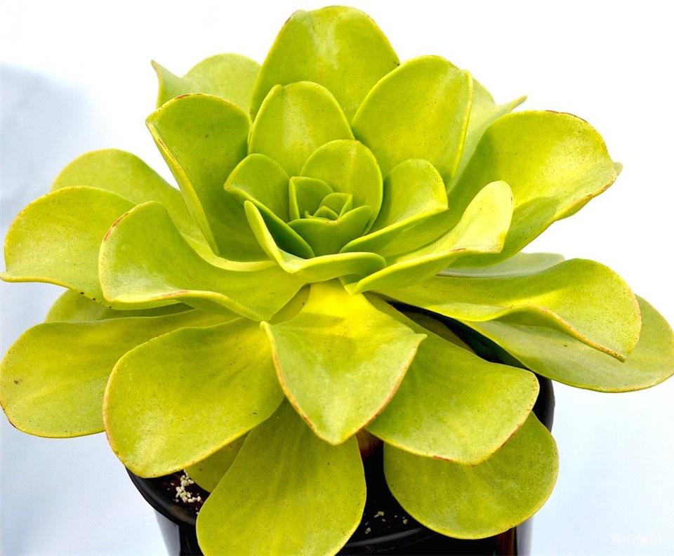 Aeonium nobile
