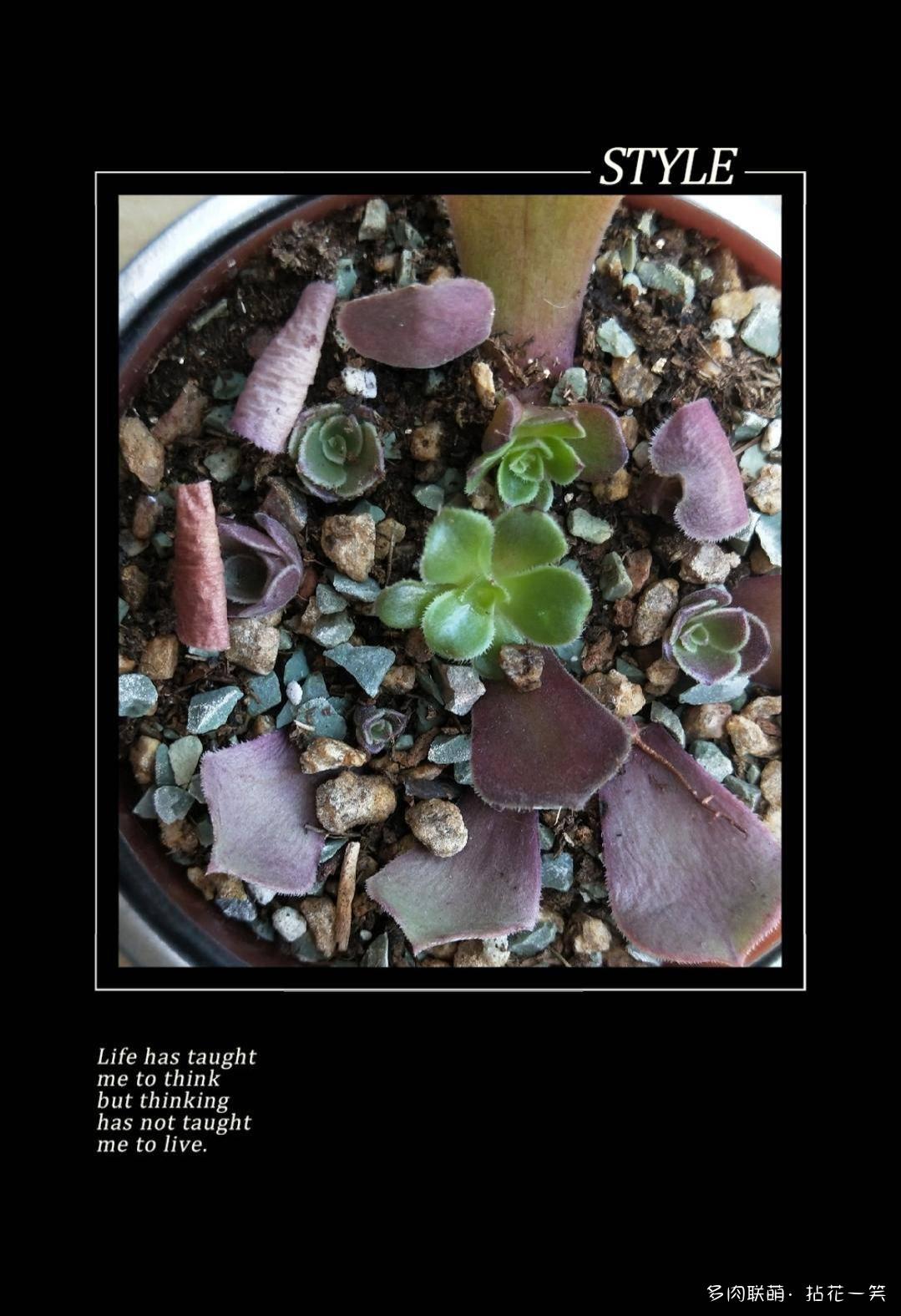 紫羊绒的叶插