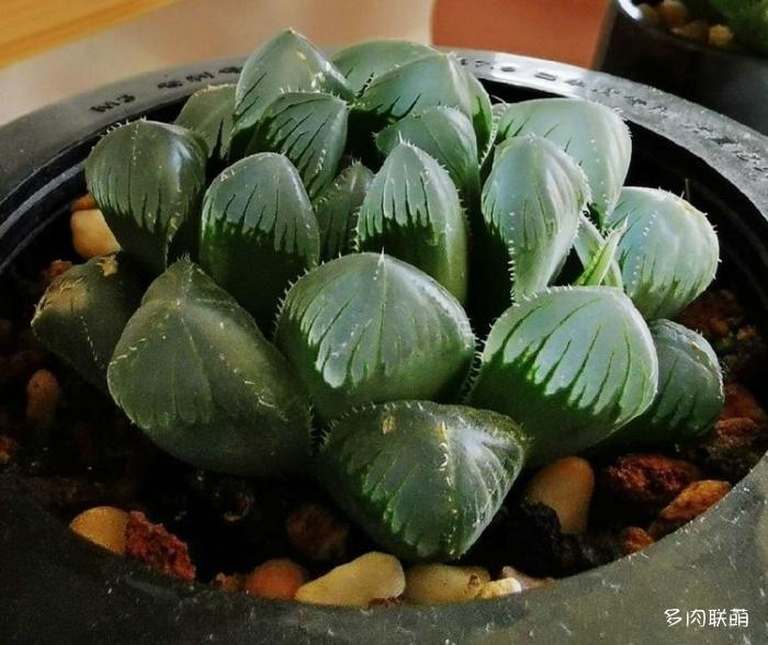 新疆吉昌,阳台上的多肉