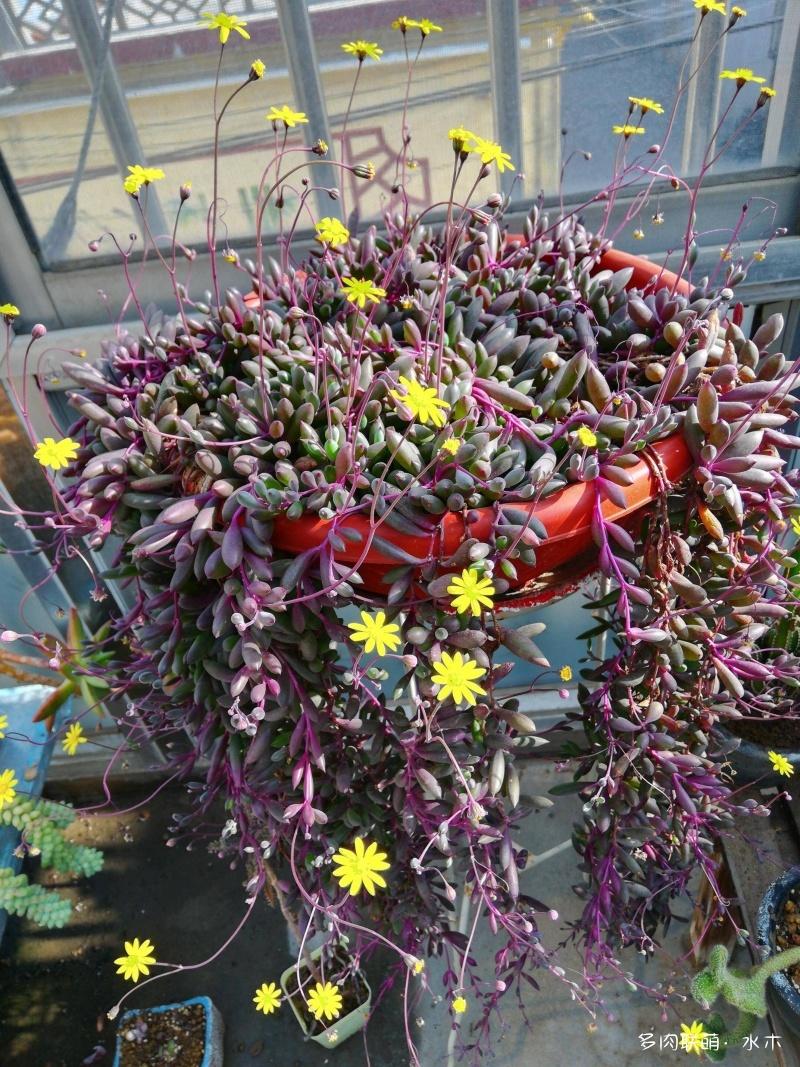 紫弦月的花