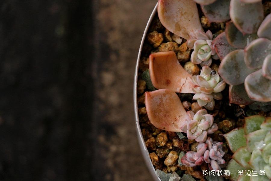 宜宾,秋冬的多肉