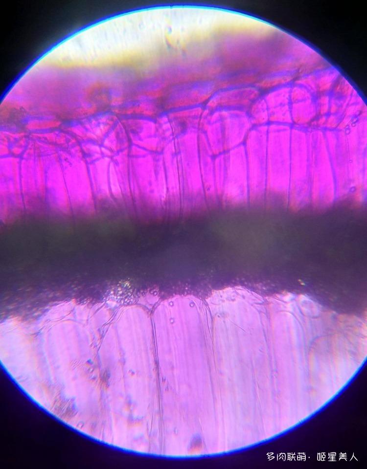 显微镜下的多肉切片