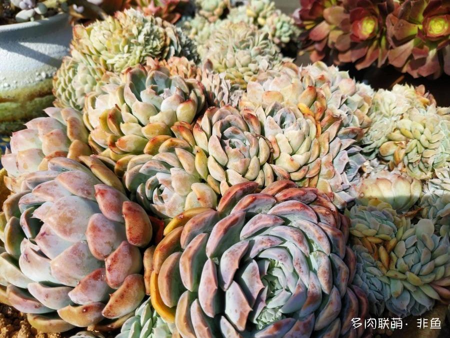 云南保山,冬季露养的多肉