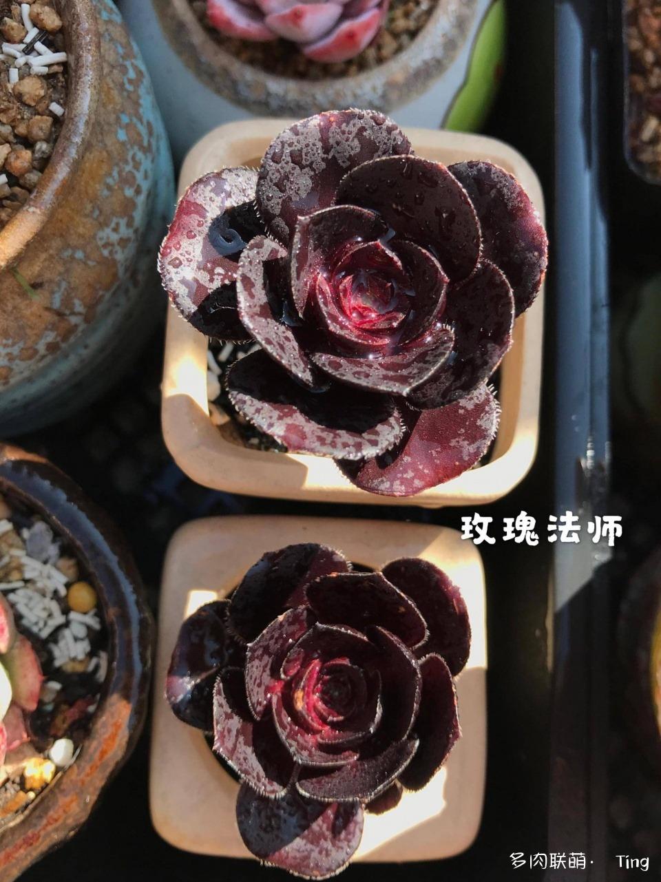 云南大理冬天多肉