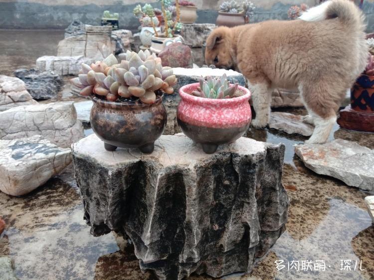 云南建水,春天的多肉