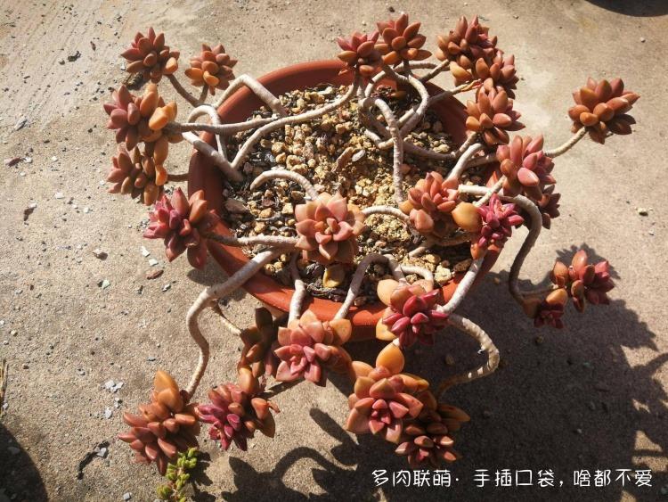 河南新乡,靠天吃饭,露养的多肉