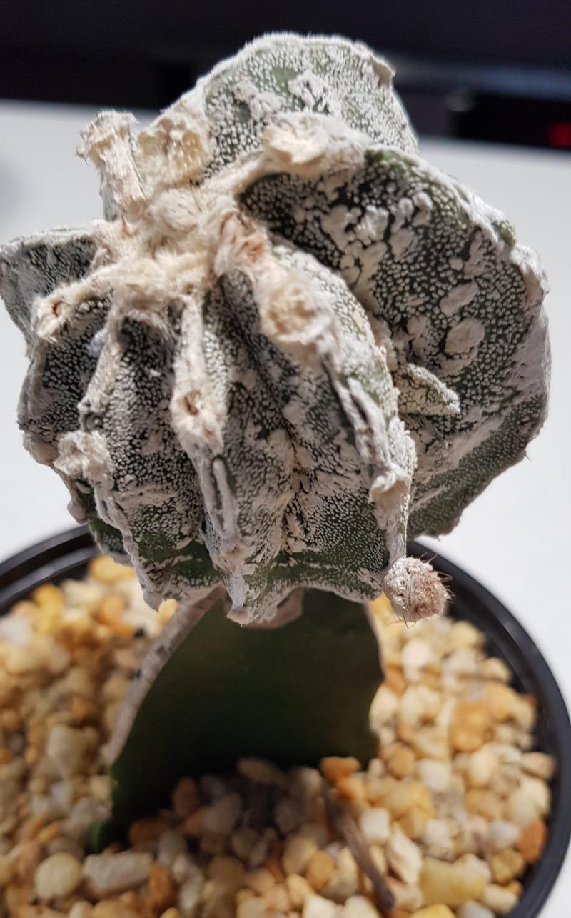 Astrophytum Myriostigma Cv Fukuryu Hakujo