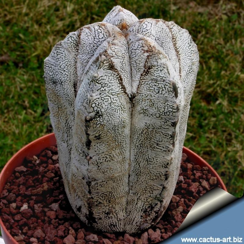 Astrophytum myriostigma cv. ONZUKA forma columnare