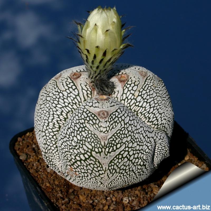 Astrophytum myriostigma cv. Onzuka tricostatum2