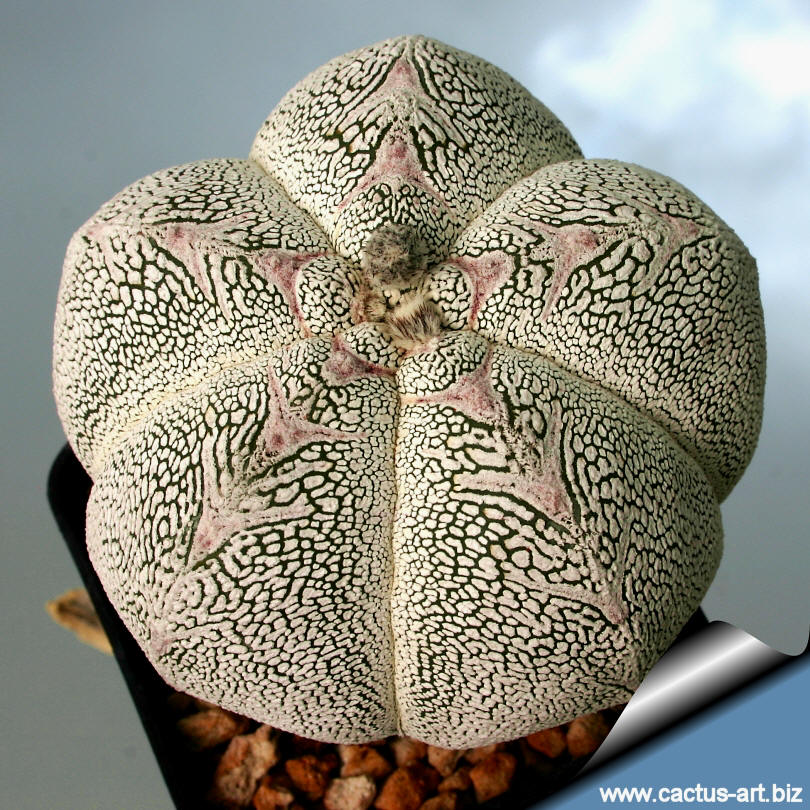 Astrophytum_myriostigma_onzuka_kikko2