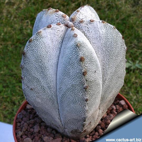 Astrophytum_onzuka_white_540
