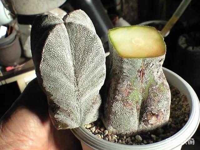 恩冢鸾凤玉 Astrophytum myriostigma 'Onzuka'