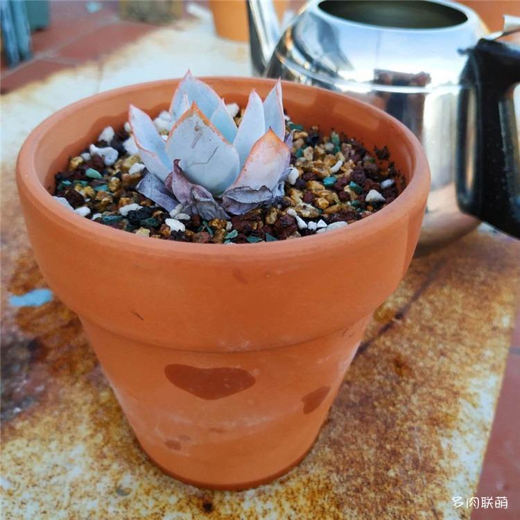 红陶盆的吸水