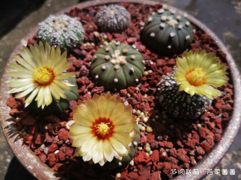 深圳夏天开花的仙人掌