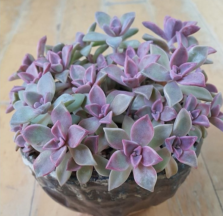 Graptopetalum cv. Purple Haze