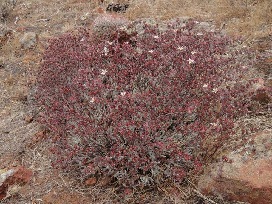 Dudleya attenuata ssp. attenuata