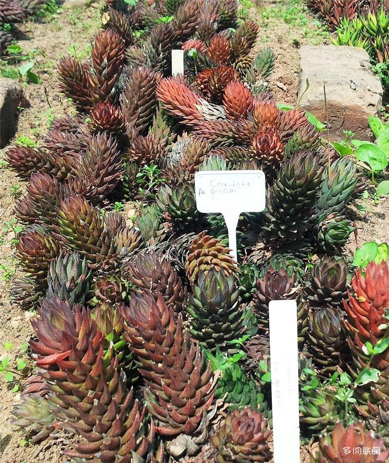 绿玉爪 Haworthia coarctata f. greenii