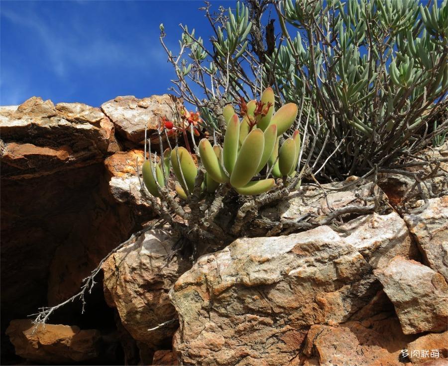 Cotyledon tomentosa subsp. ladismithiensis